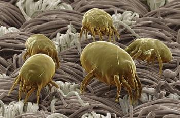 huisstofmijt een microscopisch klein organisme