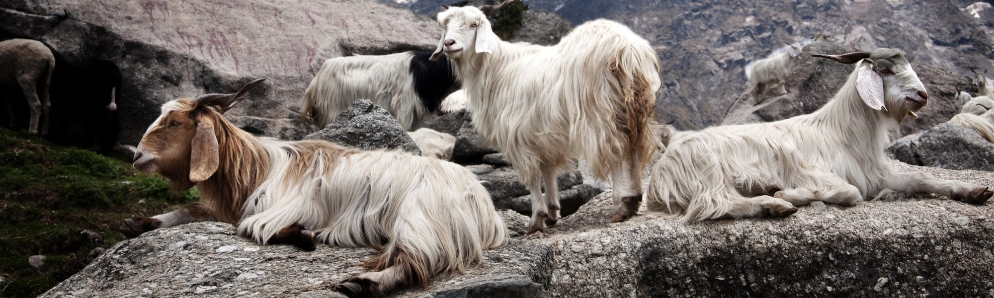 Kasjmier-geiten-in-hun-natuurlijke-omgeving