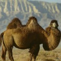 Kameel-de-drager-van-kameelhaar