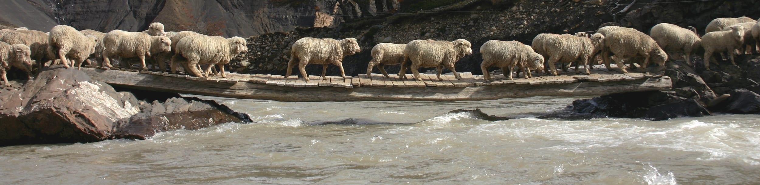 Merino-schapen-de-leveranciers-voor-een-comfortabele-elastische-en-sterke-wol