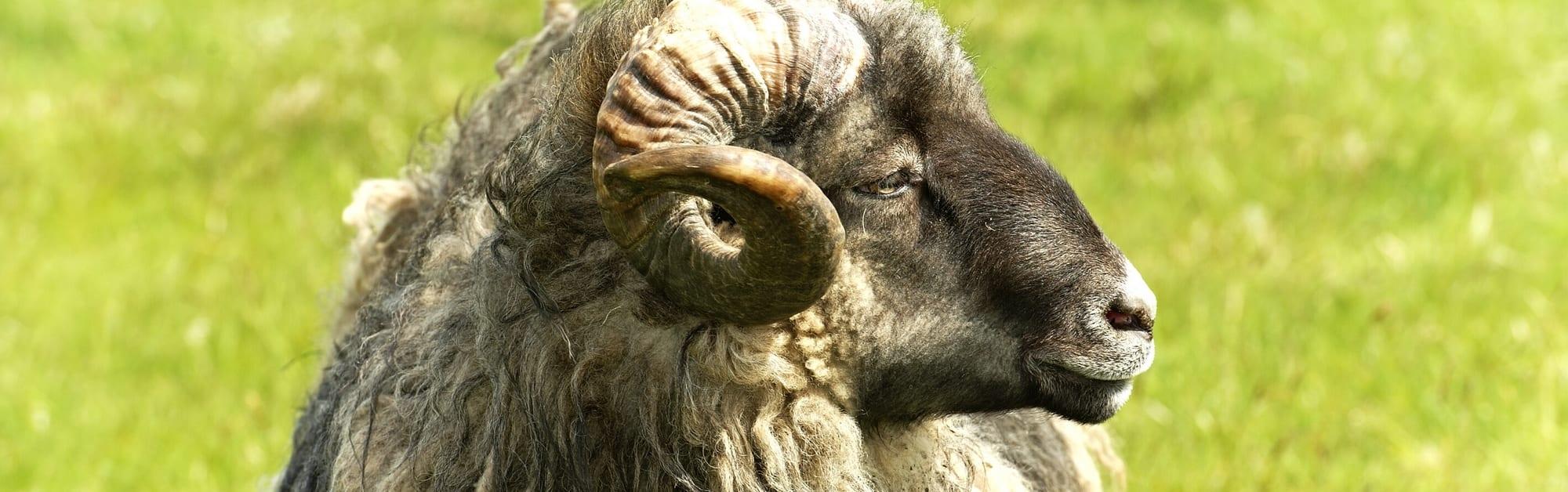 volwassen-ram-van-het-Merino-schapenras-d'Arles-Antique-de-leverancier-van-het-merinowol-deken