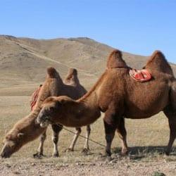 tweebultige-kamelen-de-bron-voor-een-comfortabele-kameelhaar-deken