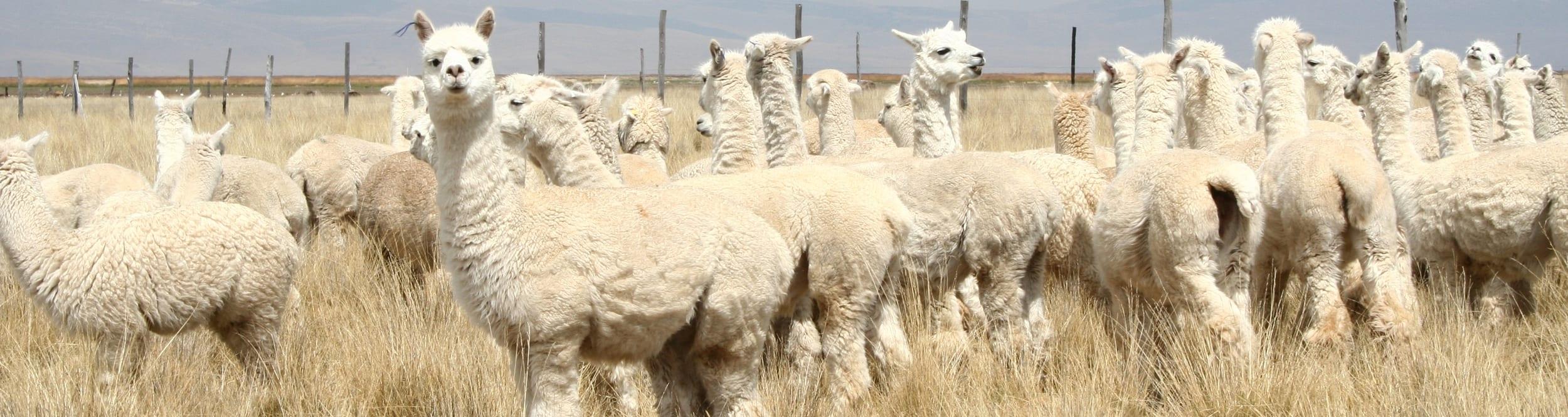Alpaca-de-drager-van-een-bijzondere-wol